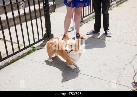 Cropped shot young couple taking corgi dog for a walk - Stock Photo
