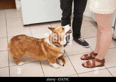 Cropped shot young couple and corgi dog in kitchen - Stock Photo