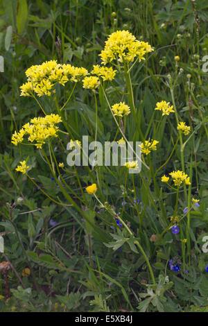 Buckler-mustard (Biscutella laevigata) flowers - Stock Photo