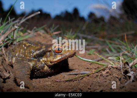 Common toad (Bufo spinosus) in Mariola mountains, between Alicante and Valencia province, Spain - Stock Photo