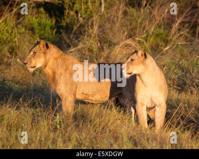 young lions at dawn - Stock Photo