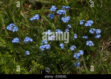 Alpine Forget-me-not (Myosotis alpestris) - Stock Photo