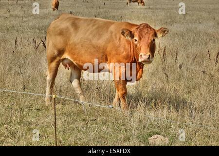 Denmark, Bornholm Island Pictures taken between 1st and 5th August 2014.  Pictured: Cow on the pasture - Stock Photo