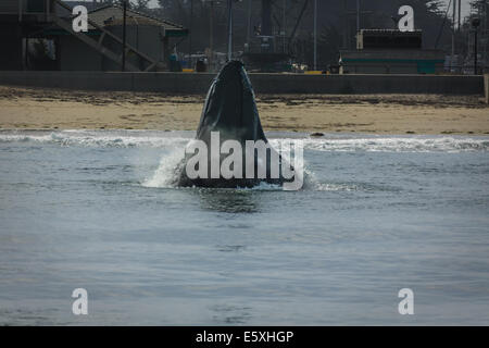 Close up of Humpback whale lunge feeding in shallow water at the beach's edge in California - Stock Photo