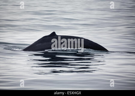 Close up of the humpback whale's fin barely disturbing the water in Monterey Bay - Stock Photo