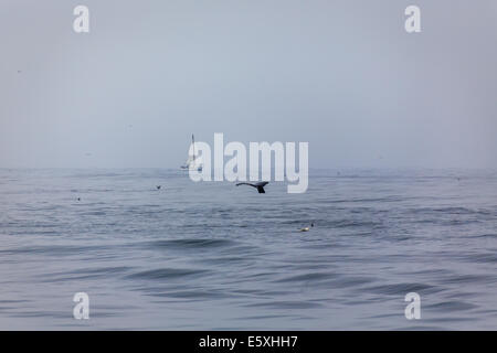 Sailboat approaches to see migrating whale's tail ahead off coast of California - Stock Photo