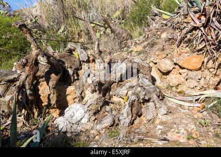 Large dry cactus and dead - Stock Photo