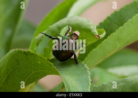 Japanese beetle (Popillia japonica) - Virginia, USA - Stock Photo