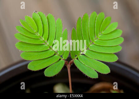 Touch-me-not plant leaves (Mimosa pudica) - USA - Stock Photo