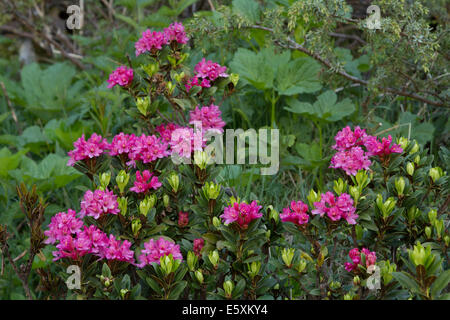 Alpenrose (Rhododendron ferrugineum) flowers - Stock Photo