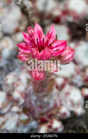 Cobweb Houseleek (Sempervivum arachnoideum) flower - Stock Photo