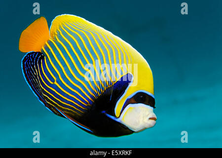 Emperor Angelfish (Pomacanthus imperator), Makadi Bay, Red Sea, Hurghada, Egypt - Stock Photo