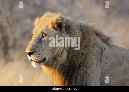 Lion (Panthera leo), Kruger National Park, South Africa, Africa - Stock Photo
