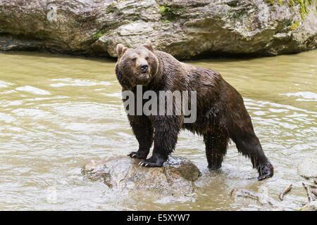 european brown bear on the edge of water - Stock Photo
