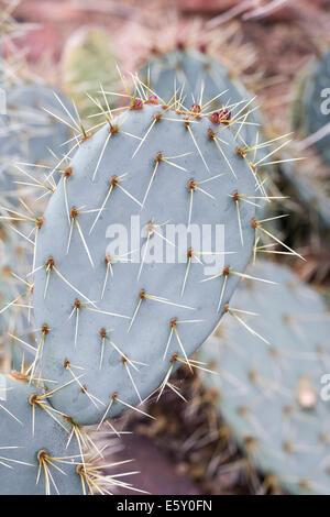 Opuntia Robusta. Wheel Cactus stem section. - Stock Photo