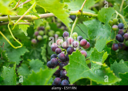Concord grapes on a vine. - Stock Photo