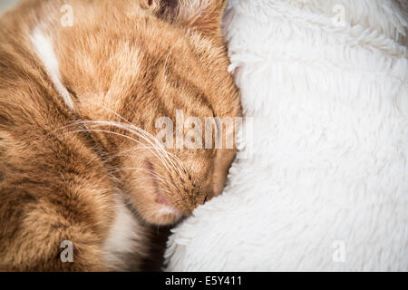 cute red cat sleeping on couch next to  a blanket - Stock Photo