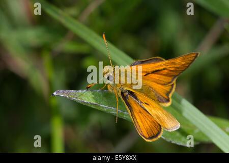 male Large Skipper (Ochlodes sylvanus) - Stock Photo