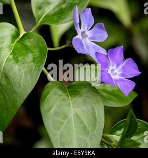 Bigleaf periwinkle / large periwinkle / greater periwinkle / blue periwinkle (Vinca major) in flower - Stock Photo