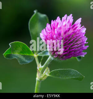 Red clover (Trifolium pratense) in flower - Stock Photo