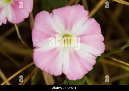 Field Bindweed (Convolvulus arvensis) flower - Stock Photo