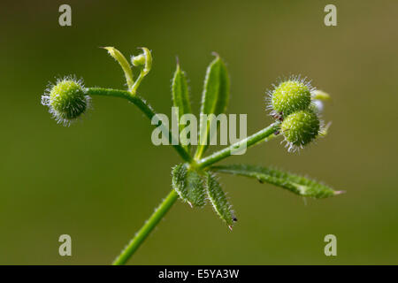 Cleavers / clivers / goosegrass / catchweed (Galium aparine) showing globular fruits / burrs - Stock Photo