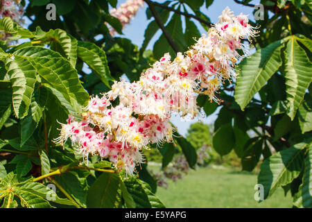 Horse-chestnut tree, Aesculus hippocastanum, with spring flowers in bloom - Stock Photo