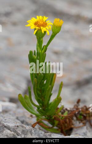 Golden-Samphire (Inula crithmoides) - Stock Photo