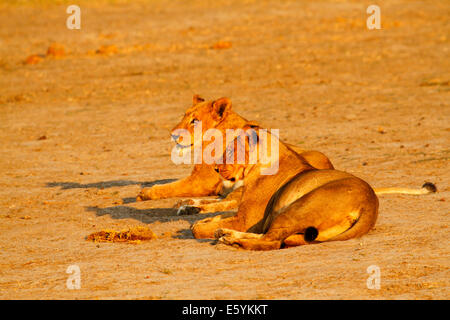Lion pride resting & cleaning up around a waterhole after a successful nights hunting, lionesses looking regal in - Stock Photo