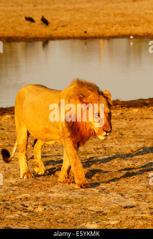 Lion pride resting & cleaning up around a waterhole after a successful nights hunting, young male coming in to his - Stock Photo
