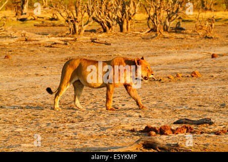 Fat & full lioness strolling across the flats on Africa's plains, stunning golden colors in the early morning - Stock Photo