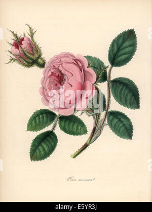 Moss rose, Rosa centifolia. - Stock Photo