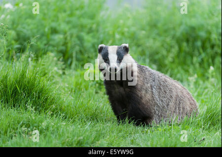 Badger playing and posing in grass - Stock Photo