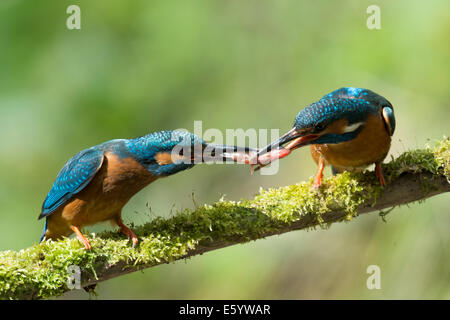 Kingfisher with fish on a branch - Stock Photo