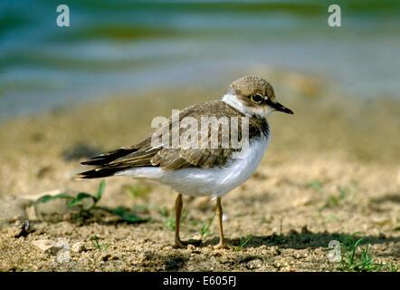 Little Ringed Plover Charadrius dubius - Stock Photo