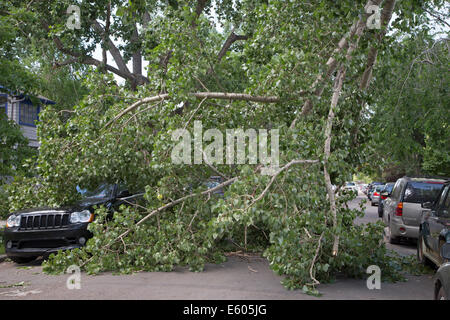 Vehicle underneath fallen cottonwood tree branch on city street after wind storm - Stock Photo
