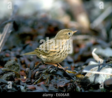 Meadow Pipit Anthus pratensis - Stock Photo