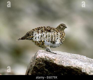 Ptarmigan Lagopus mutus - Stock Photo
