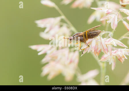 Deer fly perched on a plant. - Stock Photo