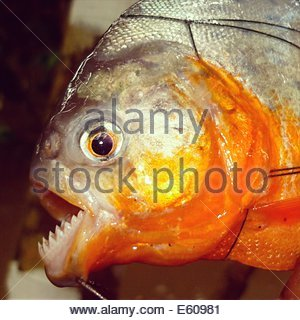 A red bellied Piranha caught in fishing nets in the Amazon river, near Iquitos, Peru - Stock Photo