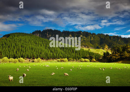 Landscape with forest and grazing sheep, North Island, New Zealand - Stock Photo