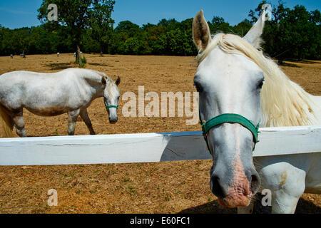 Slovenia, Lipica, Lipizaner horses in the world famous Lipizaner horses farm - Stock Photo