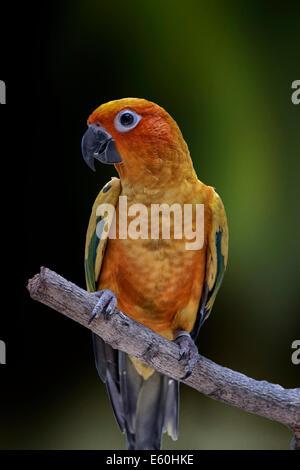 Sun Parakeet, Sun Conure, Aratinga solstitialis, parrot - Stock Photo