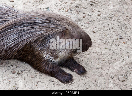 wild porcupine in south africa nature - Stock Photo