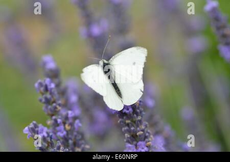 Small White Butterfly on Lavender Flowers - Stock Photo
