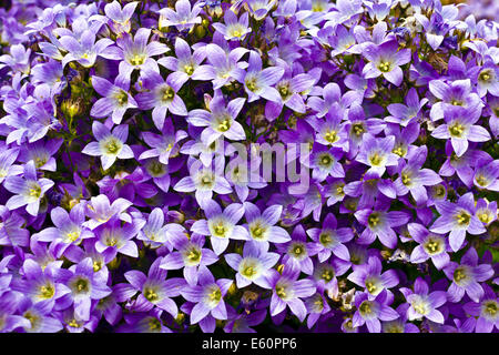 Blue campanula flower as a background. - Stock Photo