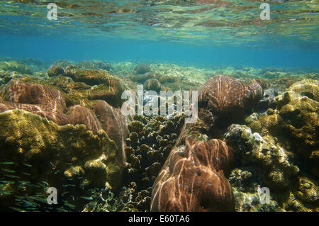 underwater coral reef close to water surface, Caribbean sea - Stock Photo