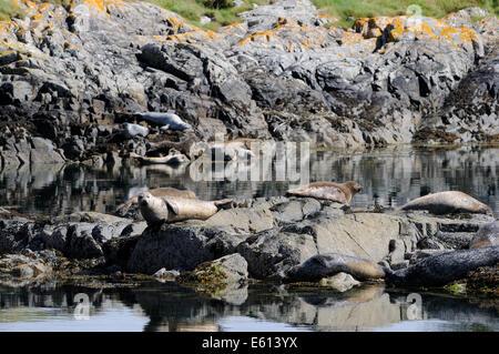 Common seals basking on rocks, Loch Alsh, Scotland - Stock Photo