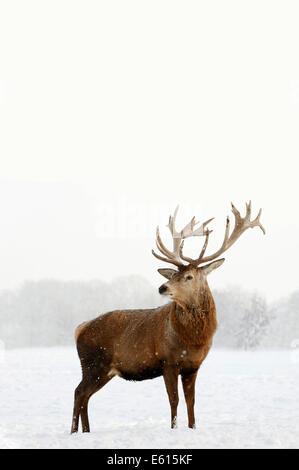 Red Deer (Cervus elaphus), stag in winter, captive, North Rhine-Westphalia, Germany - Stock Photo