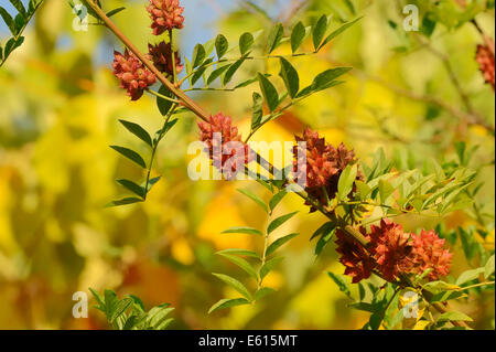Licorice (Glycyrrhiza glabra), branch with fruit, Germany - Stock Photo
